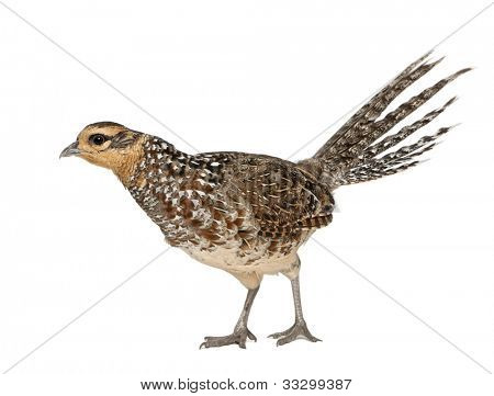 Female Reeves's Pheasant, Syrmaticus reevesii, can grow up to 210 cm long, in front of white background