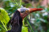 Northern bald ibis with its face in closeup, tropical non wading bird, Endangered animal specie from Africa poster
