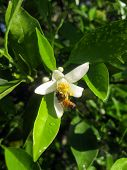 Honey bee gathering nectar from an orange blossom. poster