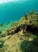 Spiny lobster in natural habitat in ocean with gorgonians in background poster