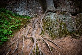 Detailed View Of Tree Roots In Forest With Green Grass Around