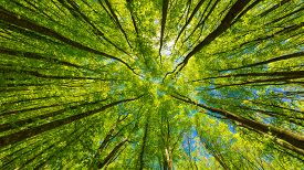 Looking Up At The Green Tops Of Trees.