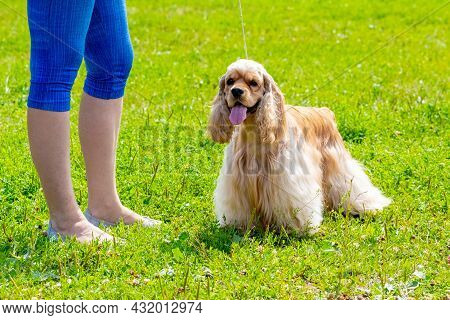 American Cocker Spaniel Dog Next To His Mistress During A Walk In The Park