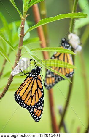 Newly Emerged Monarch Butterfly (danaus Plexippus) And Its Chrysalis Shell Hanging On Milkweed Leaf