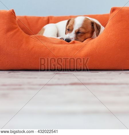 small Jack Russell terrier puppy sleeps in orange dog bed