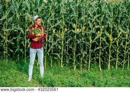 Corn Cobs In The Arms Of The Farmer, Harvest Time. African Farmer With Hat On His Head Gathers Corn