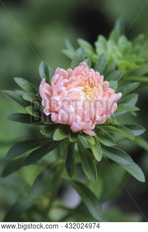 Astra Pink Flower Macro Shot Natural Light Growing In The Garden. High Quality Photo. High Quality P