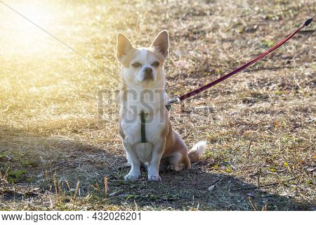 The Pembroke Welsh Corgi Dog Sits On Dry Spring Or Autumn Grass. A Pet On A Walk On A Leash And A Ha