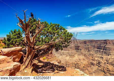 Black Raven And Old Tree At Grand Canyon West Rim In A Sunny Day, Usa