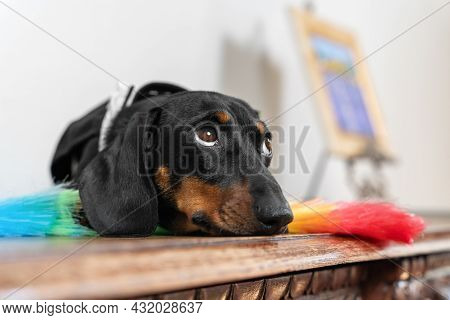 Lovely Tired Dachshund Puppy In Maid Uniform With Feather Duster For Cleaning Is Lying On Wooden Sur