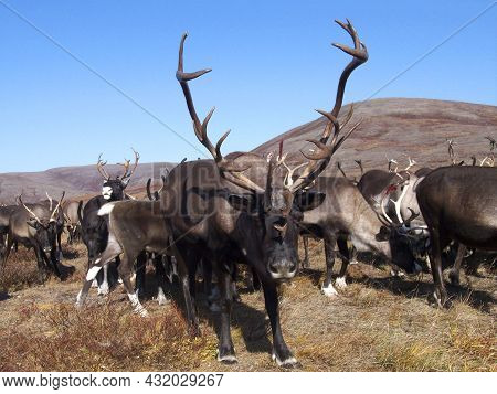 Deer Watching The Camara In The Tundras Of Chukotka, Russia In Autumn