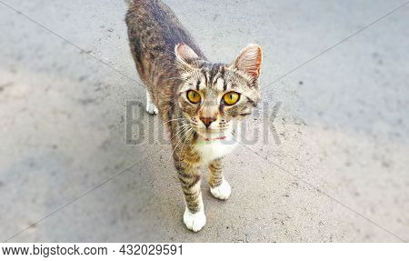 Skinny Gray-brown Cat On A Road With A Red Bow Seen From Above