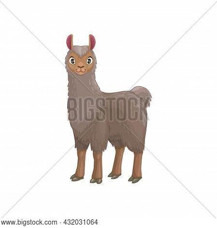 Llama Animal Portrait With Furry Grey Body Isolated Cartoon Animal. Vector Mountain Lama, Farming Li