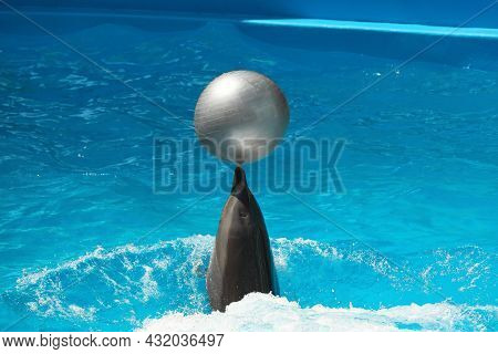Cute Dolphin Playing With Ball In Pool At Marine Mammal Park