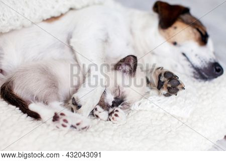 Cute cat with White Dog sleeping together on white blanket. Puppy and little kitten relax at home Best freinds