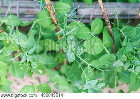 Pea Plants In The Garden Cling To The Support With Their Whiskers.