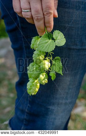 Adult Woman Holding A Branch Of Hops With Green Cones. Womans Hand With A Wedding Ring And Ripe Hop