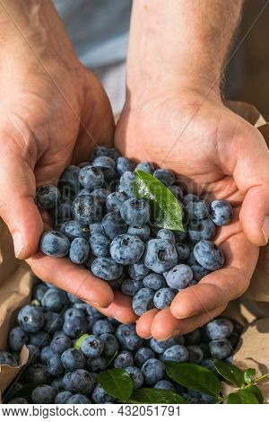 Freshly Picked Blueberries In A  Man's Hand. Healthy Food And Nutrition Concept. Harvest.healthy Foo
