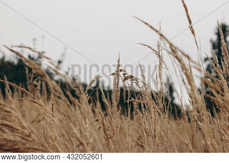Field Of Dry Brown Grass Over Grey Cloudy Sky. Autumn Landscape. Closeup Of Wild Meadow Plants. Sele
