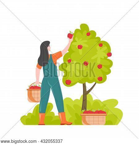 Gardening Farmer Woman Gathering Harvest, Vector Illustration. Female Gardener Picking Apples Puttin
