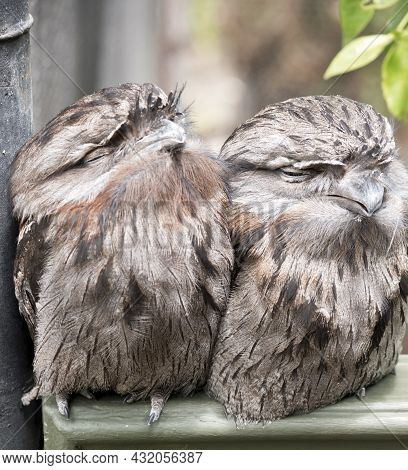 The Two Tawny Frogmouths Are Perched On A Fence