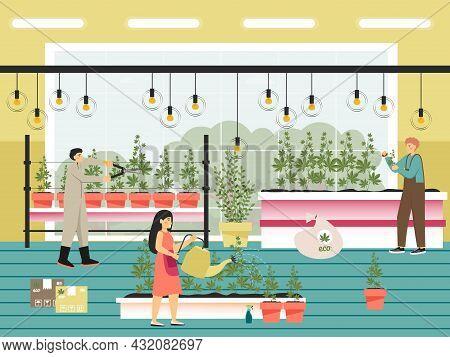 People Growing Cannabis Sativa Plants Flat Vector Illustration. Marijuana Farm. Legal Cannabis Culti