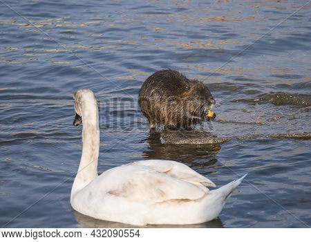 Close Up White Mute Swan, Cygnus Olor And Coypu, Myocastor Coypus Or Nutria Eating Vegetable At Rive