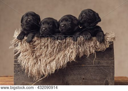adorable little labrador retriever puppies resting inside a furry vintage wooden box and looking up on beige background in studio