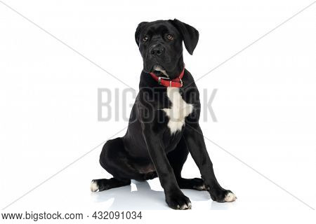black cane corso puppy wearing red collar around neck looking away and sitting isolated on white background in studio