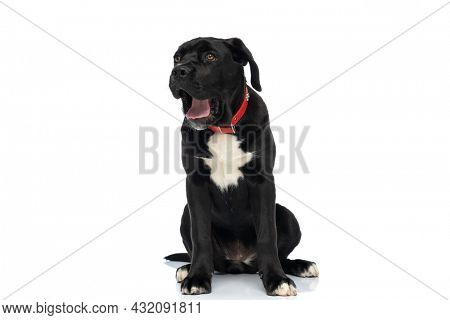 black cane corso dog with red collar around neck being sleepy, yawning while sitting isolated against white background in studio
