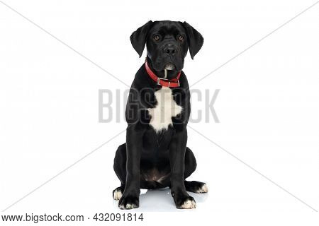 adorable cane corso dog with red collar around neck sitting on white background in studio
