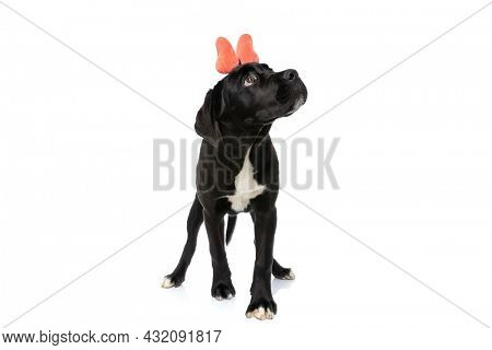 curious cane corso puppy with orange bow looking up and walking  isolated on white background in studio