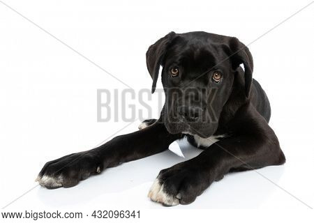 eager black cane corso doggy looking up in a curious manner while laying down isolated on white background in studio