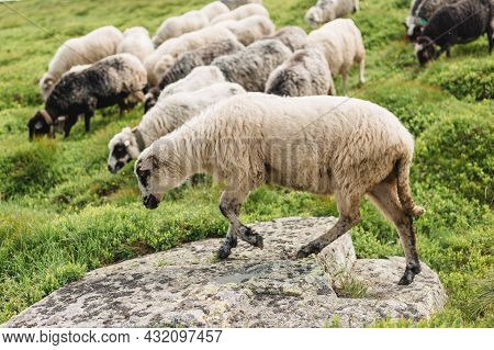 Sheeps In A Meadow On Green Grass. Flock Of Sheep Grazing In A Hill. European Mountains Traditional