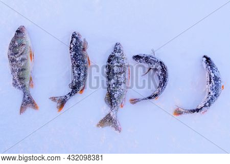 Caught Fish Common Perch, European Perch Lies On The Ice Of The River. Ice Fishing.