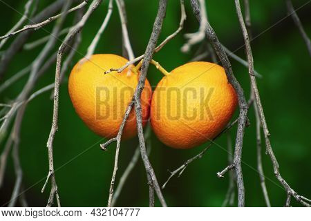 Tangerine Garden With Dry Branches And Ripe Fruits. Mandarin Orchard With Ripening Citrus Fruits. Na