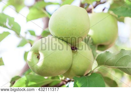 Ripening Apples On The Tree . Apple Tree With Fruits In Autumn