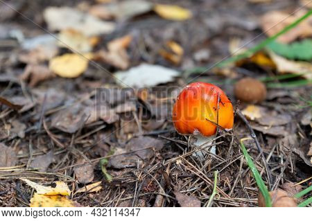 Young Red Fly Agaric In Taiga Forest. Fly Amanita Or Amanita Muscaria.toadstool. Hallucinogenic Toxi
