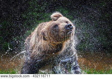 Wild Brown Bear (ursus Arctos) Splashing On Pond In The Summer Forest. Shaking Spray, Shakes Off. An