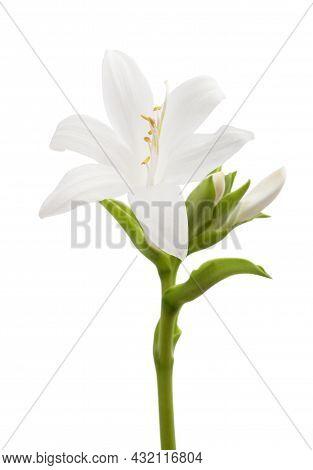 Hosta Plantaginea (plantain Lily) Isolated On White Background