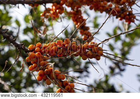 Sick Plant, Disease Berries On Branch. Sea Buckthorn (hippophae Rhamnoides) Is Dioecious Shrub Or Tr