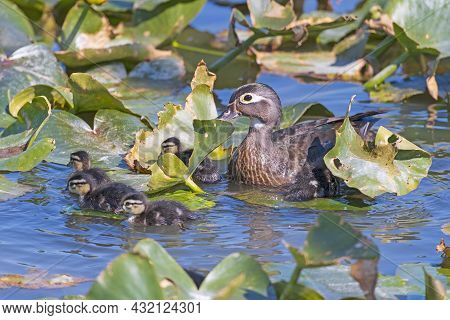 Wood Duck Mama Watching Her Babies In Cuyahoga Valley National Park In Ohio