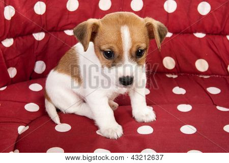 Red spotted pet bed with little Jack Russel puppy