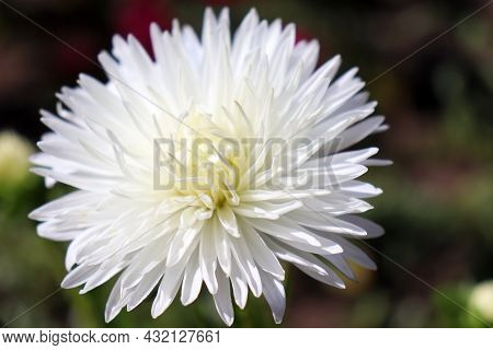 White Aster Flower Growing In The Garden. Close Up Of Single Autumn Flower