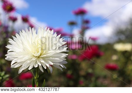 White Aster Flower Against Blue Sky With Clouds. Autumn Flowers Growing In The Garden