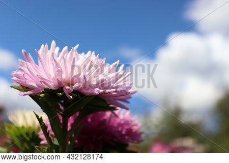 Pink Aster Flower Against Blue Sky With Clouds. Autumn Flowers Growing In The Garden