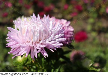 Close-up Of Purple Aster Flower Growing In The Summer Or Autumn Garden