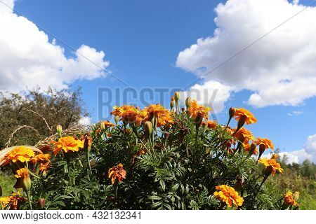 Marigold Flowers In The Garden On Blue Sky And White Clouds Background. Late Summer R Autumn Landsca