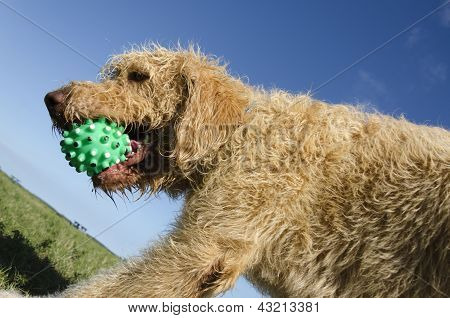 Labradoodle Playing Catch