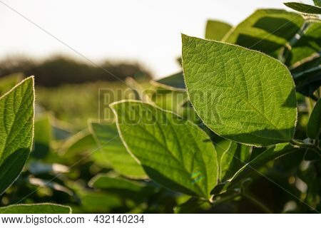 Soybean Plant Leaf Close-up In A Field Of Young Plants. Young Crops Of Agricultural Crops. Selective